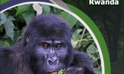 The Riveting Tale of an Encounter with the Mountain Gorillas of Rwanda