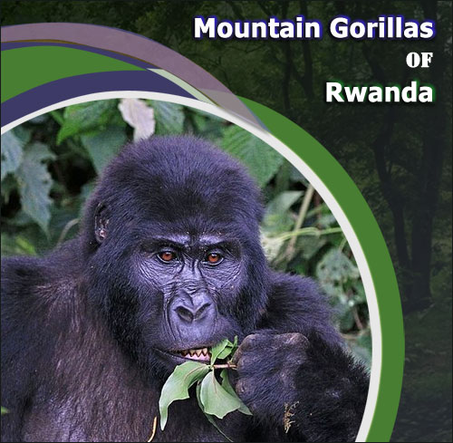 Mountain-Gorillas-of-Rwanda